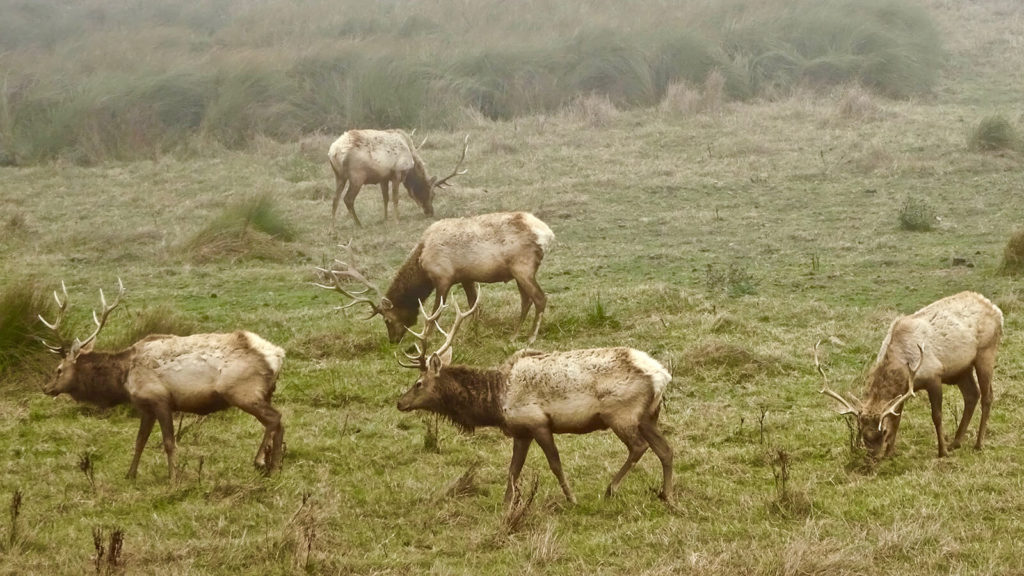 Herd grazes at Tule Elk Preserve.