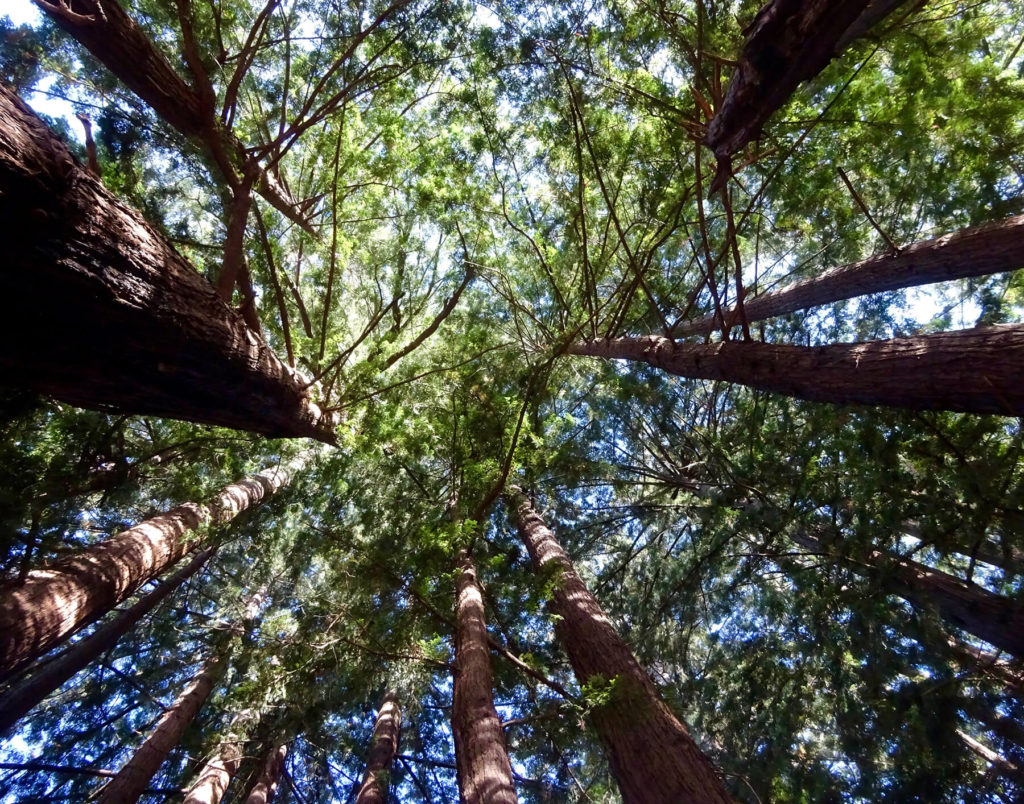 "Redwood canopy at Roy's Redwoods. ""Great Marin County Hikes – Roy's Redwoods Open Space Preserve."""